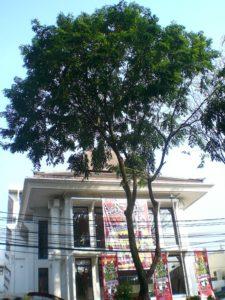 Pohon di Jalan Merdeka
