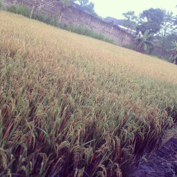 Tiny rice field. Plants do cal…